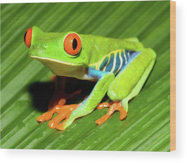 Red-eyed Tree Frog Wood Print featuring the photograph How About Some Real Color by Max Waugh