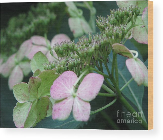 Hydrangea Wood Print featuring the photograph Hydrangea by Amanda Barcon