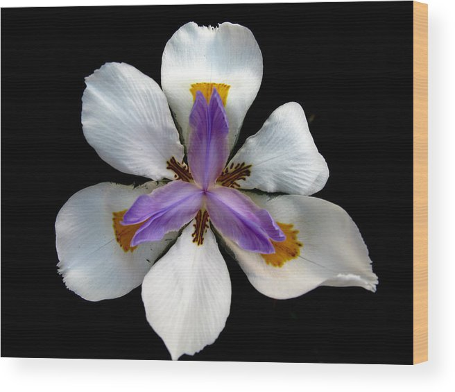 Flower Wood Print featuring the photograph Iris For Easter by PJ Cloud