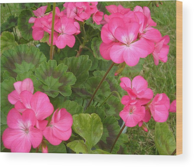 Geranium Wood Print featuring the photograph Joyful Geranium by Cathy MONNIER
