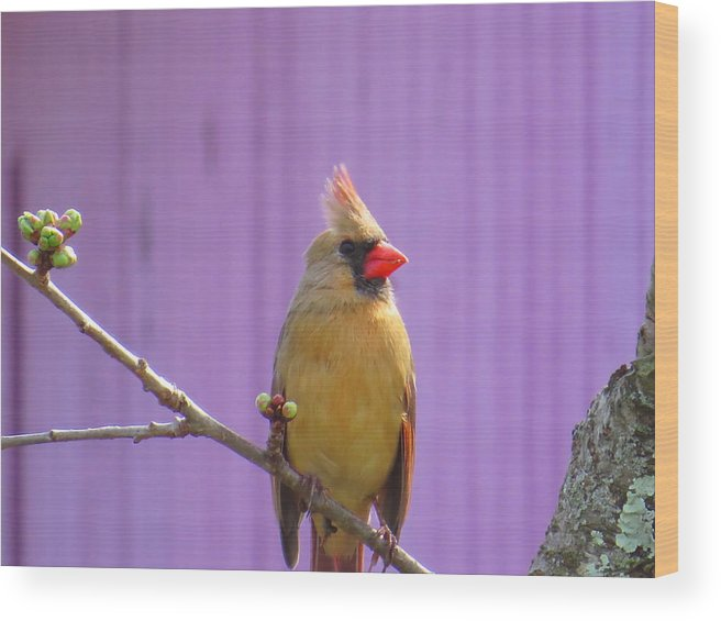 Bird Wood Print featuring the photograph Rare Yellow Cardinal On A Cherry Branch by Jodi DiLiberto