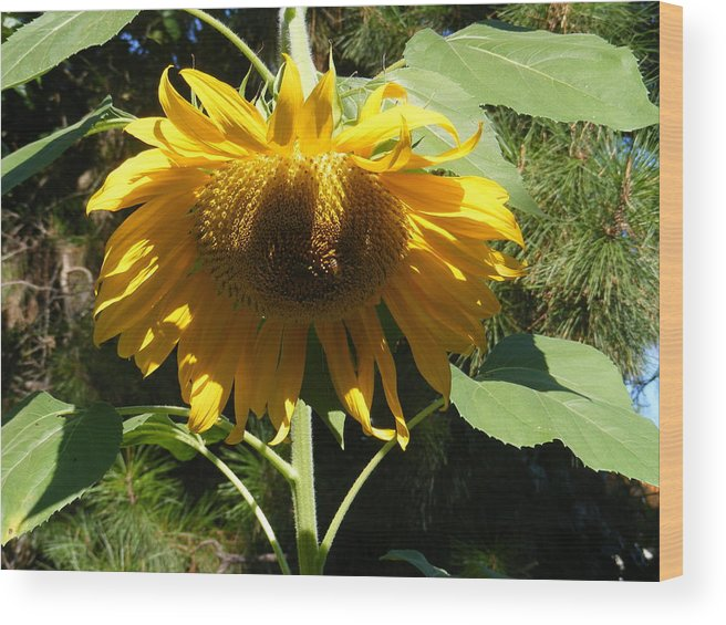 Sunflowers Wood Print featuring the photograph Let Me Take A Bow by Gail Salitui