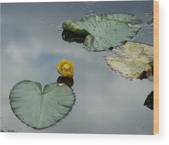 Lilly Pads Wood Print featuring the photograph Lilly Pads by Gene Ritchhart