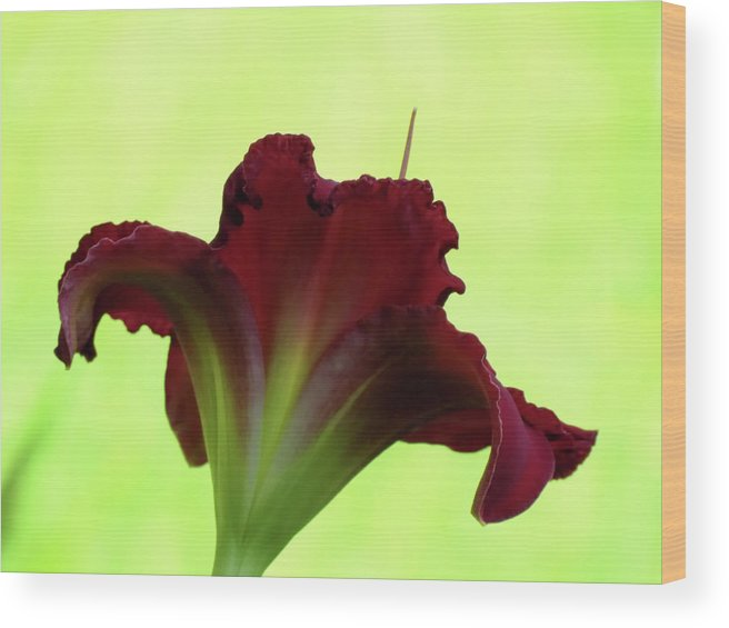 Indy Rhapsody Daylily Wood Print featuring the photograph Lily Red On Yellow Green - Daylily by MTBobbins Photography
