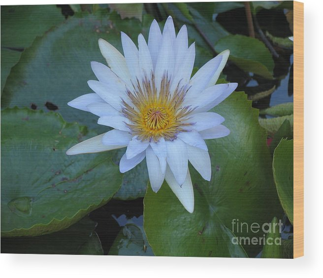 Flower Wood Print featuring the photograph Lily White by Stephanie Richards