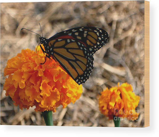Butterfly Wood Print featuring the photograph Magnificent Monarch by PJ Cloud