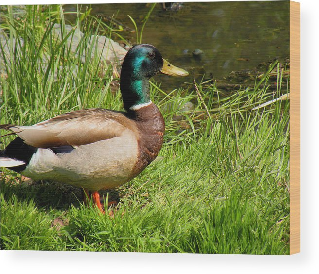 Ducks Wood Print featuring the photograph Mallard Duck by Rosalie Scanlon