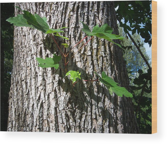 Tree Wood Print featuring the photograph Maple Branch by Ken Day