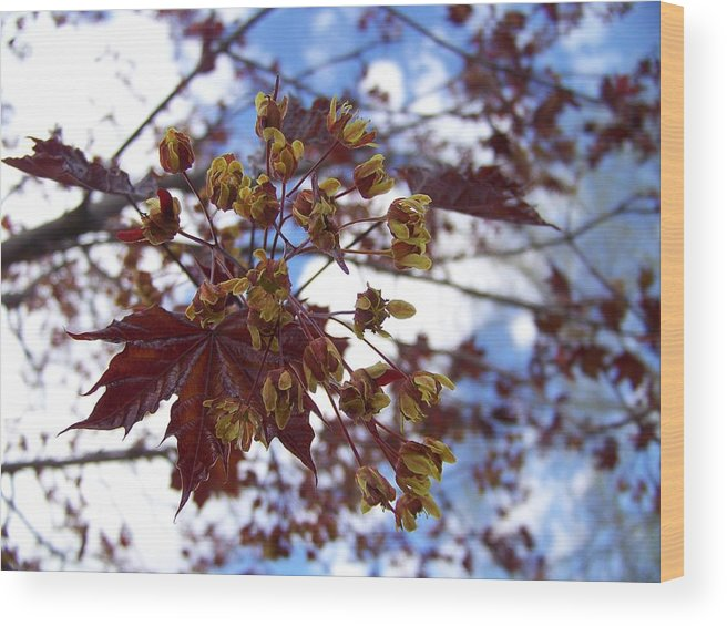 Tree Wood Print featuring the photograph Maple Tree In Spring by Angi Parks