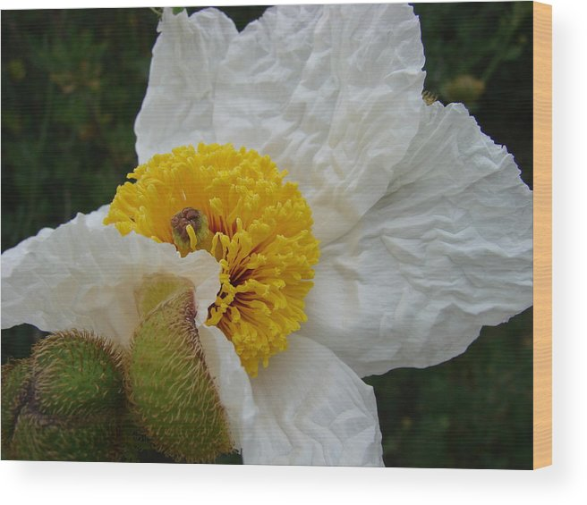 Flowers Wood Print featuring the photograph Matilija Poppy 2 by Liz Vernand