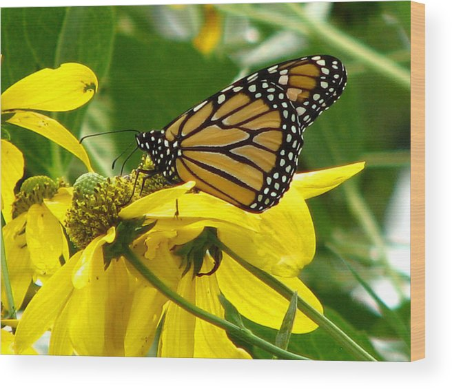 Bug Wood Print featuring the photograph Monarchs Gold by David Dunham