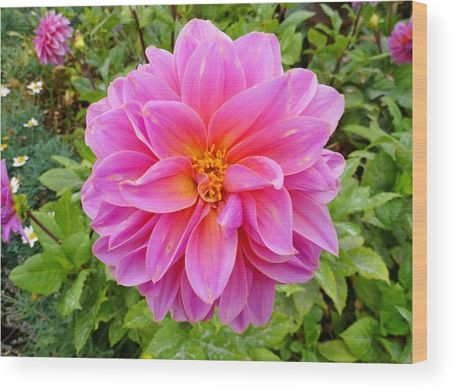 Dahlia Wood Print featuring the photograph Monterey Pink by Robert Meyers-Lussier