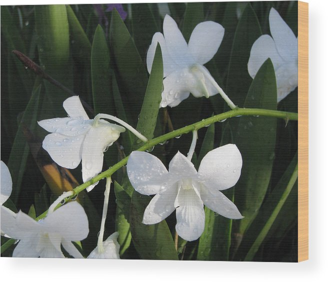 Orchid Wood Print featuring the photograph Morning Dew by Jim Derks