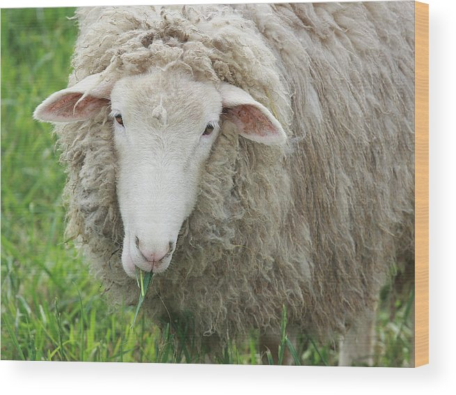 Sheep Wood Print featuring the photograph Mouthful by Jean Macaluso