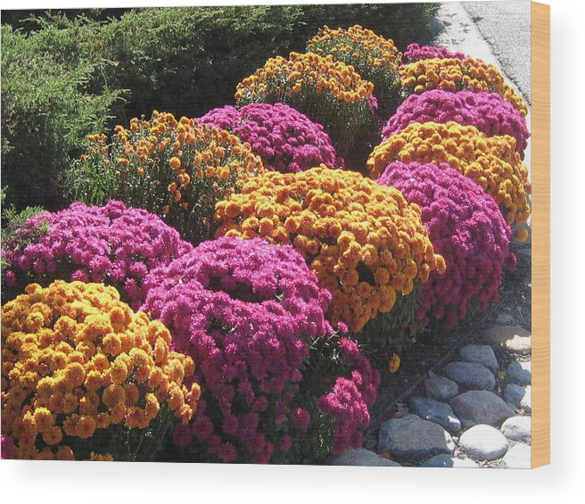 Mums. Floral Wood Print featuring the photograph Mums On Display by Renee Antos