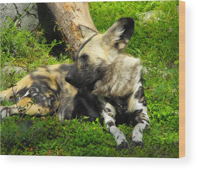 Dog Wood Print featuring the photograph Nonchalance by Marianne Mason