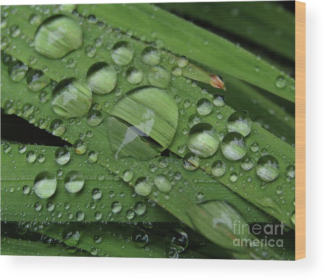 Raindrops Wood Print featuring the photograph Drops Of Rain by Kim Tran