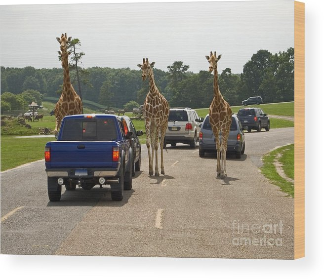Giraffe Wood Print featuring the photograph Oncoming Traffic by Andrew Kazmierski