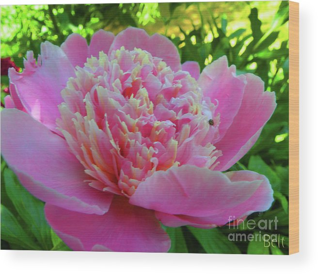 Peony Flower Wood Print featuring the photograph One Of The Peony Sisters Of Nebraska City by Christine Belt