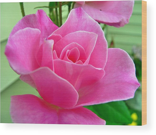 Flower Wood Print featuring the photograph p1050202b Pink Rose by Ed Immar