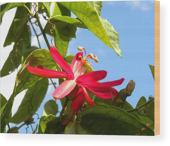 Flower Wood Print featuring the photograph Passion Rising by Janet Dickinson