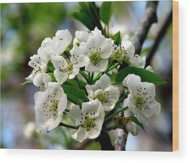 Pear Tree Blossum Wood Print featuring the photograph Pear Tree Blossoms 1 by J M Farris Photography