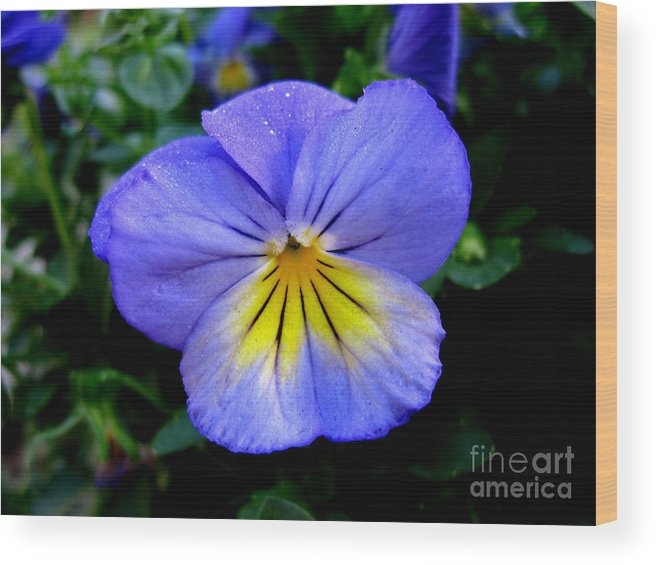 Pansy Wood Print featuring the photograph Perfect Pansy by PJ Cloud