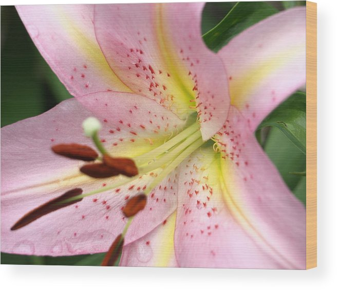 Macro Wood Print featuring the painting Pink Lily by Kim