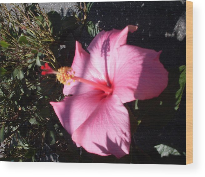 Hibisicus Flowers Ink Shadows Florida Wood Print featuring the photograph Pink Shadows by Warren Thompson