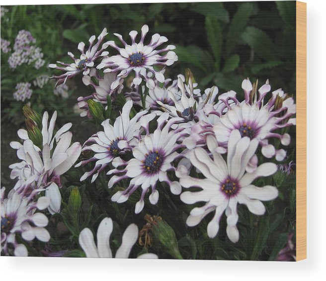 Flower Wood Print featuring the photograph Pinwheels by Kathy Roncarati