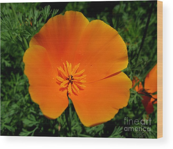 Orange Poppy Wood Print featuring the photograph Poppy Season by PJ Cloud