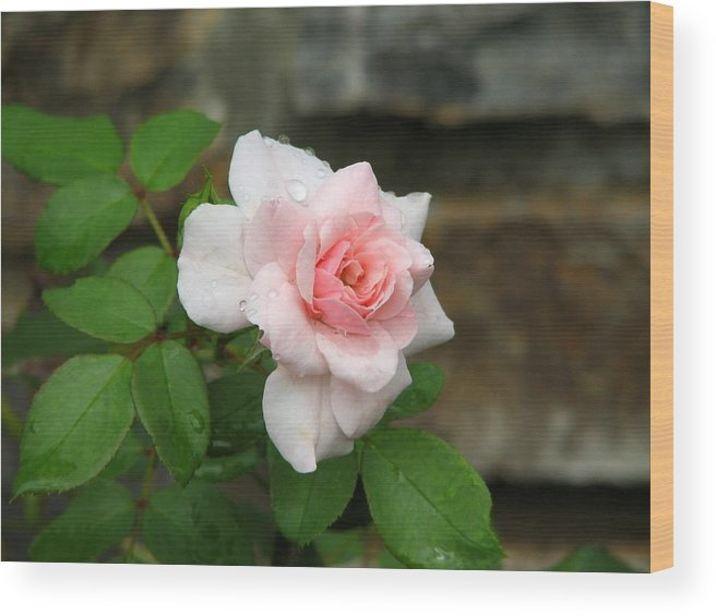 Rose Wood Print featuring the photograph Pretty In Pink by David Dunham