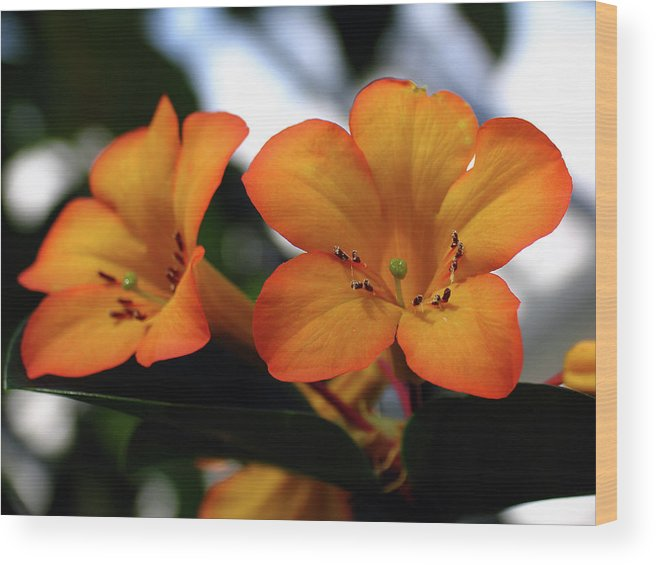 Flower Wood Print featuring the photograph Pretty Obscure by Juergen Roth