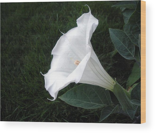 White Flower Wood Print featuring the photograph Pure And Lovely by Jeanette Oberholtzer