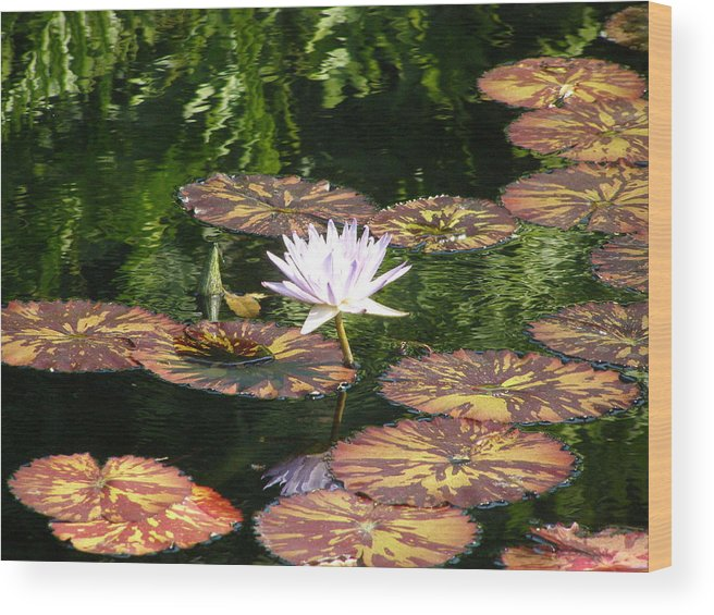 Flowers Wood Print featuring the photograph Pure Water Lily by Jeanette Oberholtzer