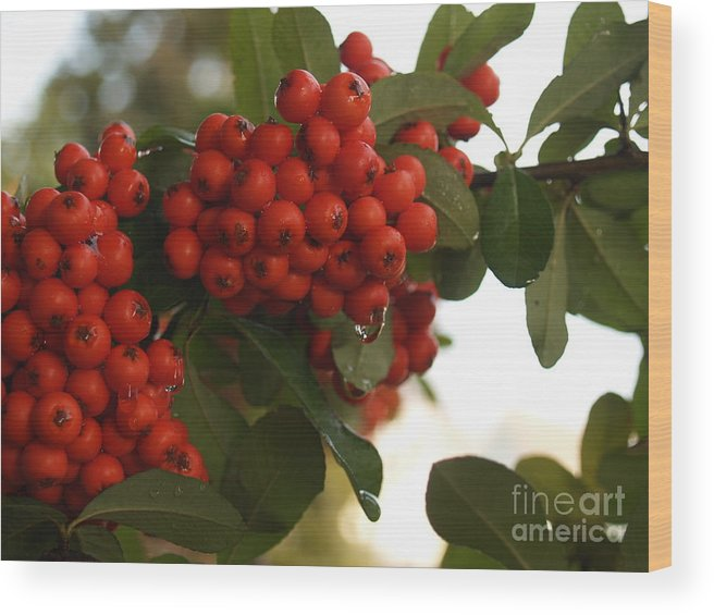 Pyracantha Wood Print featuring the photograph Pyracantha Berries In December by Anna Lisa Yoder