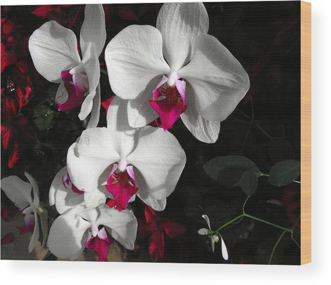 Orchid Wood Print featuring the photograph Queen Orchid by Eva Thomas