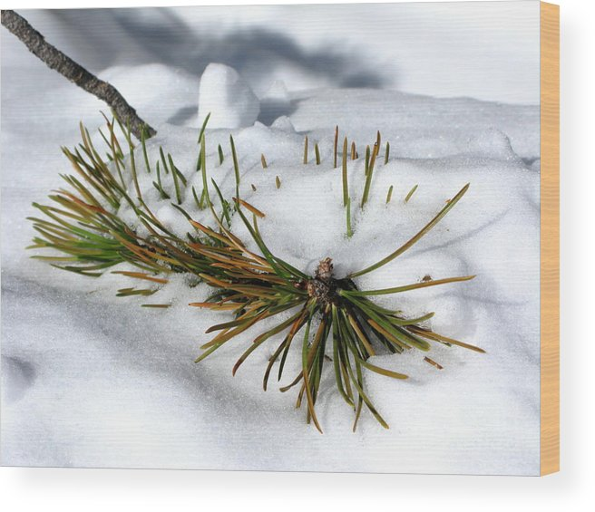 Pine Tree Wood Print featuring the photograph Recent Blanket by PJ Cloud