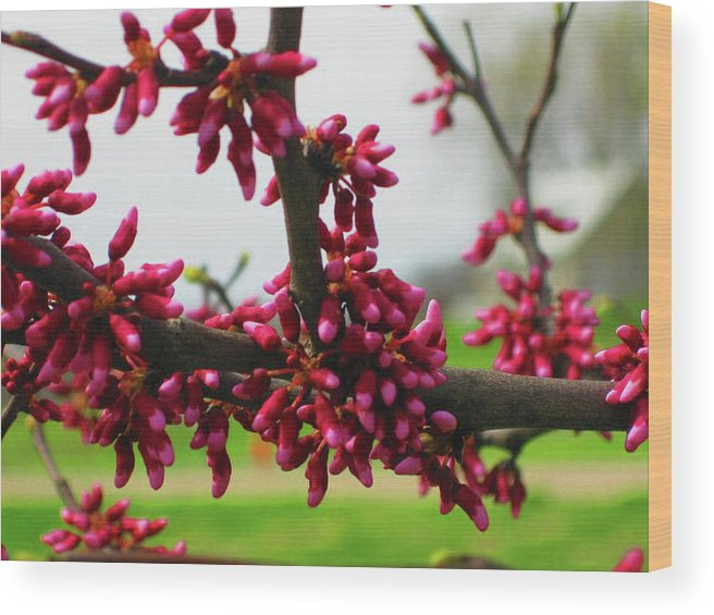 Wood Print featuring the photograph Red Buds by Brandi Nierman