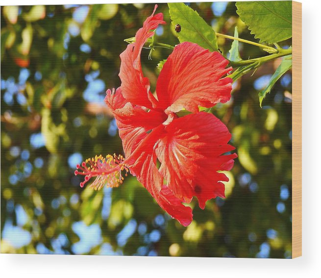 Red Hibiscus Wood Print featuring the photograph Red Hibiscus by Alex Viefhaus