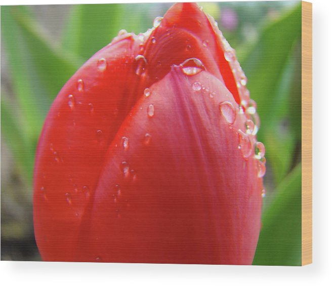 �tulips Artwork� Wood Print featuring the photograph Red Tulip Flower Macro Artwork 16 Floral Flowers Art Prints Spring Dew Drops Nature Art by Baslee Troutman