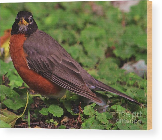 Bird Art Animal Portrait Robin Avian Outdoors Nature Canvas Print Metal Frame Wood Print Poster Print Available On Greeting Cards T Shirts Mugs Pouches Weekender Tote Bags Shower Curtains Tote Bags And Phone Cases Wood Print featuring the photograph Robin Portrait by Marcus Dagan