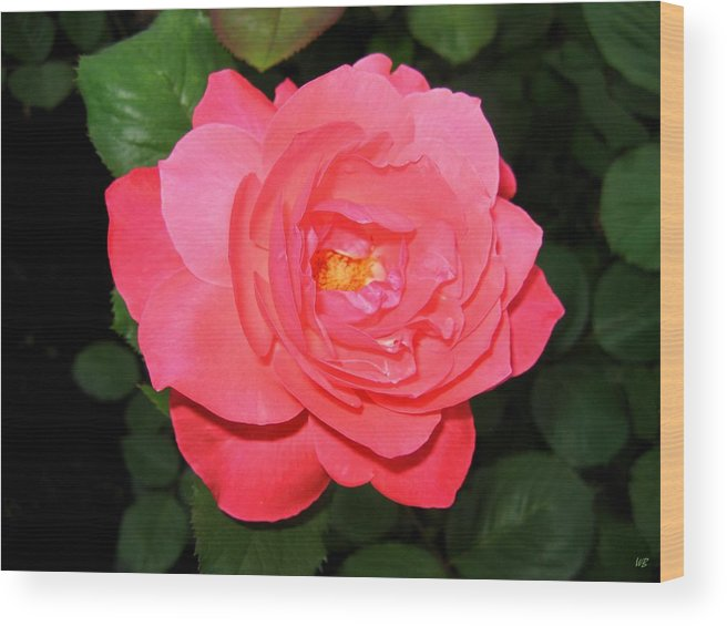 Rose Wood Print featuring the photograph Roses 12 by Will Borden