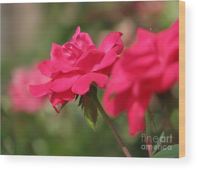 Rose Wood Print featuring the photograph Roses by Amanda Barcon