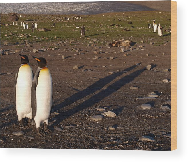 Penguins Wood Print featuring the photograph Saint Andrews Bay South Georgia 55 by Per Lidvall