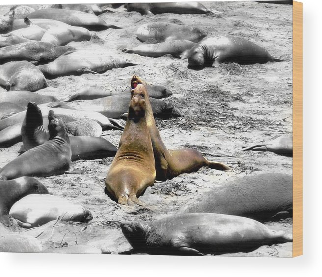 Black And White Wood Print featuring the photograph Sealions Cambria by Melissa KarVal