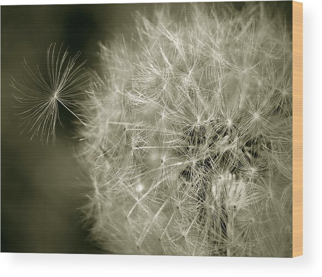 Nature Wood Print featuring the photograph Seedy Dandelion by Mary Lane