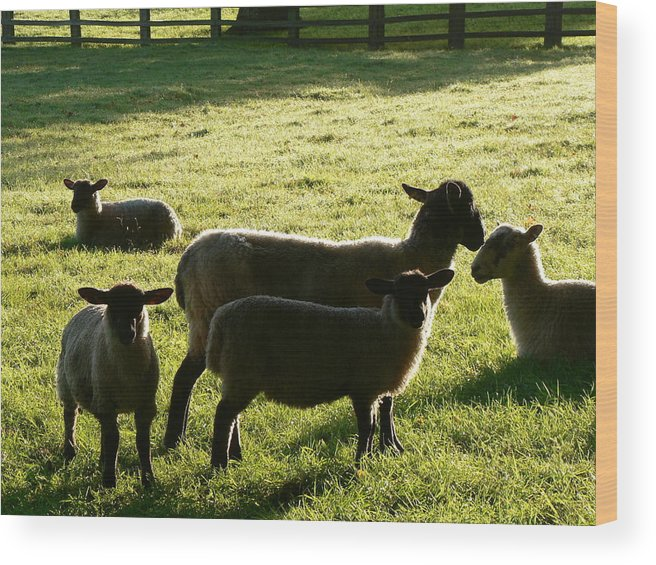 Animals. Sheep. Lambs Wood Print featuring the photograph Sheep In The Sunlight by Lynne Iddon