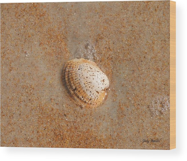 Beach Wood Print featuring the photograph Shell by Judy Waller