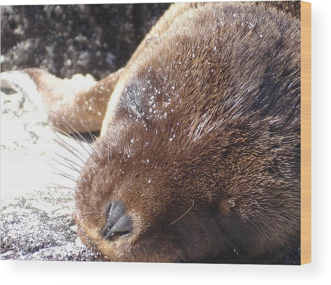Animal Wood Print featuring the photograph Sleeping Sea Lion by Chad Natti